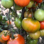 Болезни томата и огурца в августе