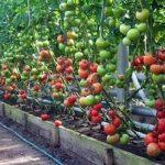 Тепличные болезни томатов