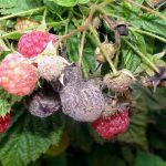 Болезни малины и ежевики