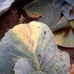 Болезни капусты и редиса