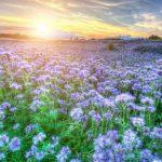 Сидераты — улучшаем почву без удобрений