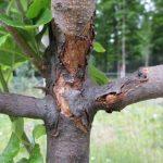 Болезни плодовых деревьев: причины и методы борьбы