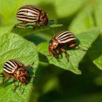 5 способов справиться с колорадским жуком